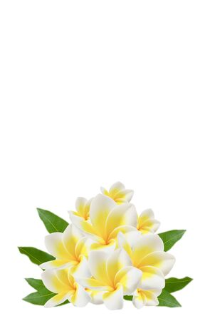 plumeria flowers and  green leaves on white  photo