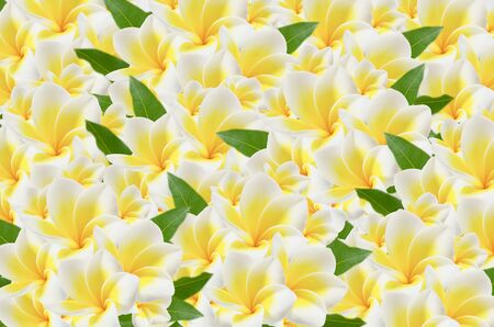 full of beautiful plumeria flower and leaves  ,  frangipani flower background photo