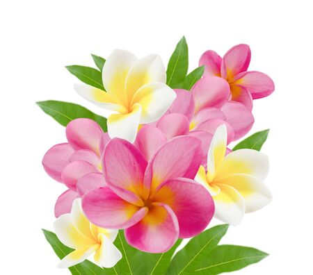 fresh of  frangipani  flower and leaves on white photo