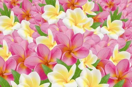 full of frangipani , flower background photo