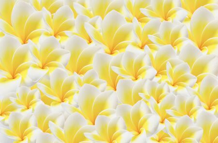 full of beautiful plumeria flower  ,  frangipani flower photo
