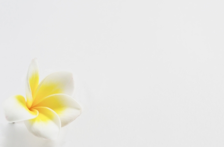 Beautiful plumeria flowers on white and free space for text