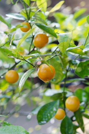 Branches with the fruits of the tangerine trees Stock Photo - 22823110