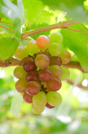 ripe grapes with green leaves on the vine. photo