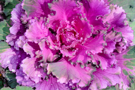 close up decorative cabbage ( Brassica oleracea var. acephala ) photo