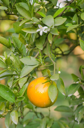 branch orange tree fruits  with green leaves  in sunlight photo