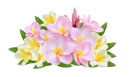 pink and white Frangipani, Pumeria, Frangipanni with leaves , isolated on white background photo
