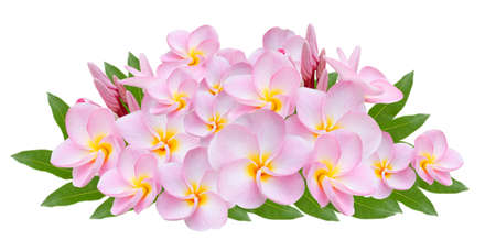 Pink Frangipani, Pumeria, Frangipanni with leaves ,  isolated on white background photo