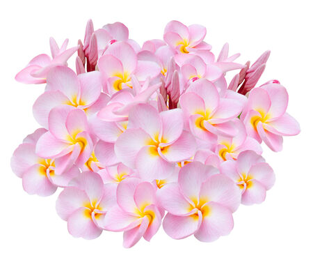 Pink Frangipani, Pumeria, Frangipanni, isolated on white background photo
