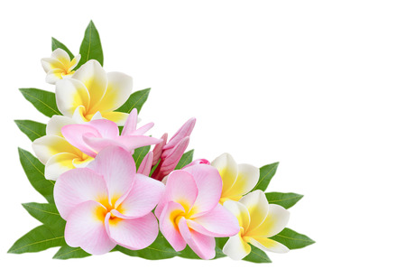 white and pink Frangipani, Pumeria, Frangipanni with leaves isolated on white background photo