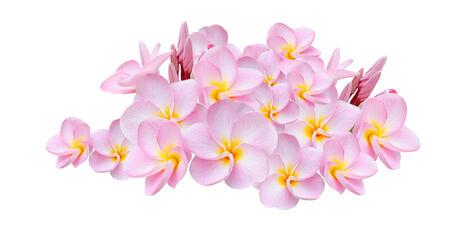 Pink Frangipani, Pumeria, Frangipanni, isolated on white background photo