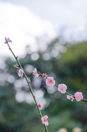 garden fresh: Branch with pink blossoms in garden , fresh flowers Stock Photo