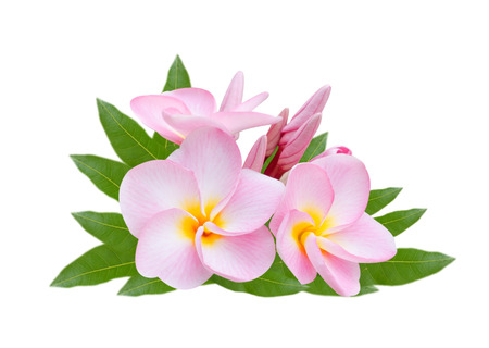 Frangipani, Pumeria, Frangipanni, isolated on white background photo