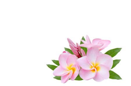 Frangipani, Pumeria, Frangipanni, isolated on white background photo