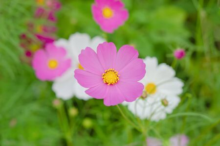 filed: fresh flower Cosmos filed in the wind Stock Photo