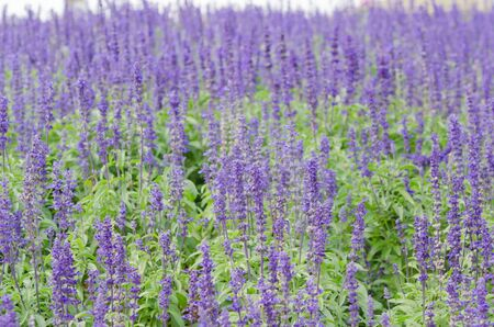 fresh purple lavender flowers in the field photo