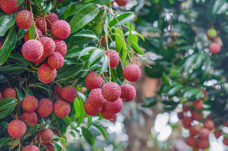 fresh lychee on tree in lychee orchard Stock Photo