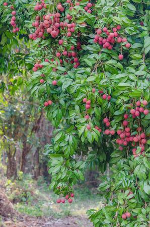 lichi: fresh lychee on tree in lychee orchard Stock Photo