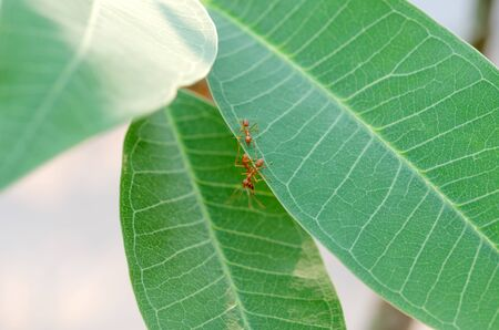 ant leaf: red ant on green leaf  in nature