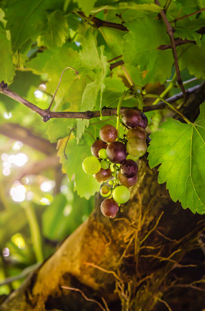 purple red grapes: Purple red grapes with green leaves on the vine