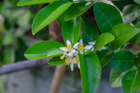 Lime flowers, lemon blossom on tree among green leaves