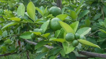 florida citrus: Lime green tree hanging from the branches of it