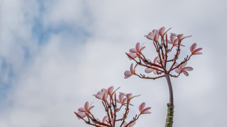 Bunch of pink plumeria tropical flowers with sky background