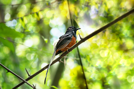 White-rumped shama on a branch in green nature