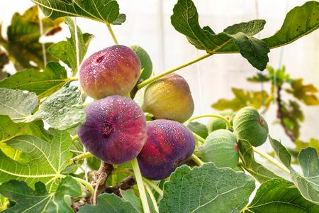 Frische Feigenfrüchte hängen am Ast des Baumes