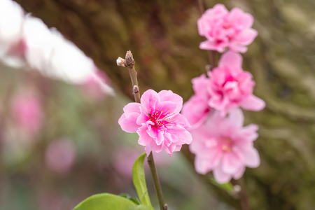 Close up of beautiful pink chinese plum blossom  flower in  