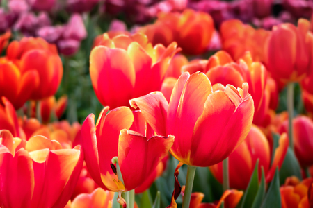 Beautiful orange tulips flower with green leaves grown in garden 免版税图像
