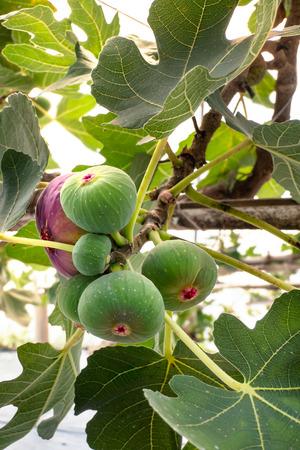 Frische Feigenfrüchte hängen am Ast des Baumes Standard-Bild