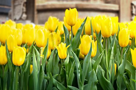 Beautiful yellow tulips flower with green leaves grown in garden Banco de Imagens