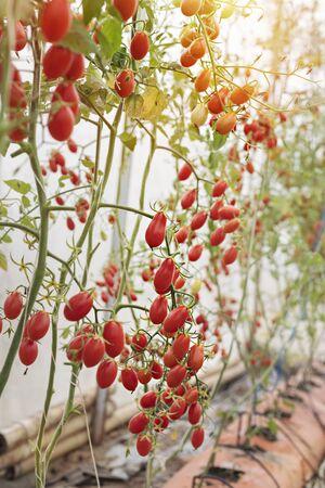fresh ripe tomatoes hanging on tree in garden