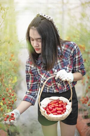 Asian pretty woman in a greenhouse with red tomatoes, harvesting fresh vegetables
