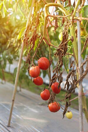 ripe tomatoes hanging on tree plant in garden Banco de Imagens