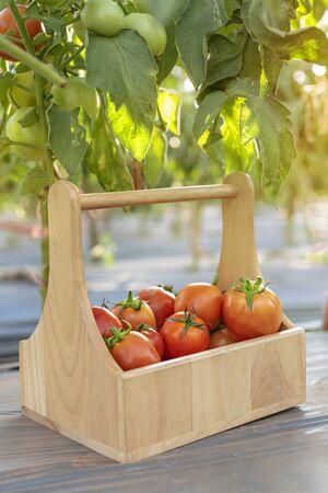fresh ripe tomatoes with wooden basket in garden Banco de Imagens