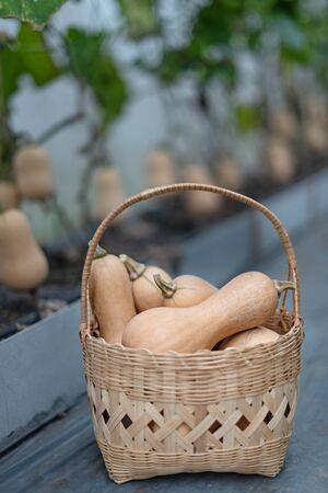 butternut squash in bamboo basket, harvesting fresh vegetables