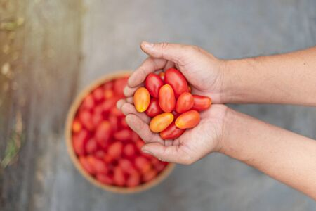 hands holding fresh ripe red tomatoes in garden