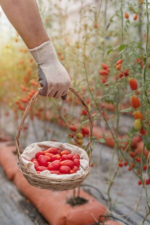 hands holding wooden basket with red tomatoes in garden