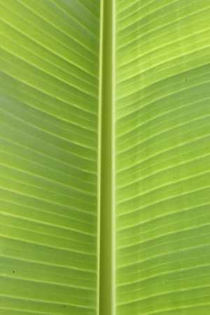 Banana Leaf bottom Stock Photo