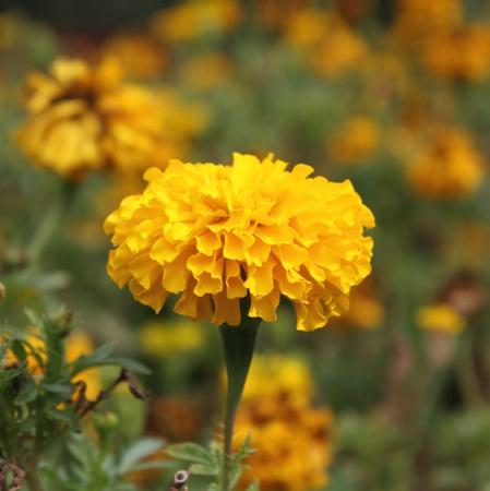 garden marigold: Marigold