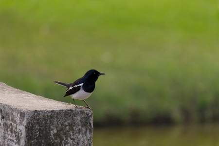 White Wagtail (Motacilla Alba) Stock Photo - 12173060