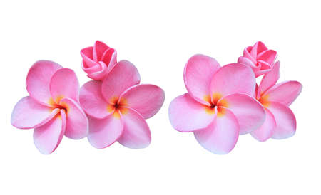 Plumeria, Frangipani, Temple tree, Collection of pink plumeria flower bouquet isolated on white background.