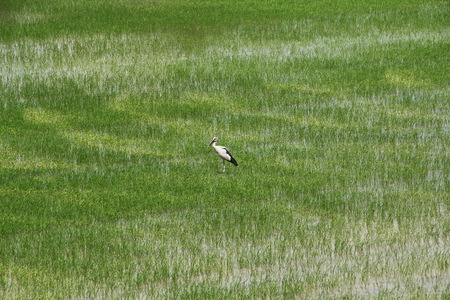 business for the middle: Life of bird in rice field