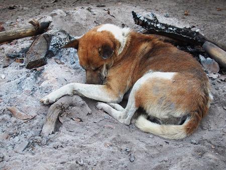 ash: Sleeping dog on the ash
