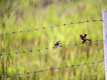 birds on a wire: Sparrow birds on the wire fence Stock Photo