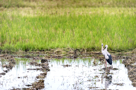 anastomus: Asian Open-billed storks on the rice field