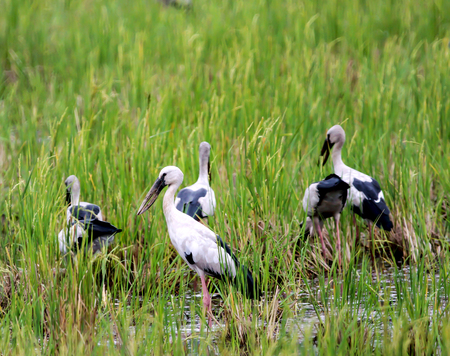 oscitans: Asian Open-billed storks on the rice field