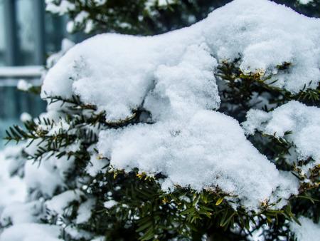 松の雪の背景に覆われた葉します。 写真素材